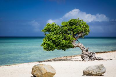 Weathered Fofoti Tree on the Beach of Aruba, West Indies-Brian Jannsen-Photographic Print
