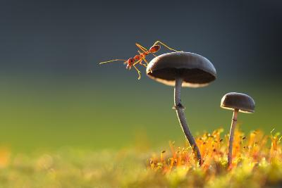 Weaver Ant Want to Jump from a Mushroom with Green Background-Robby Fakhriannur-Photographic Print