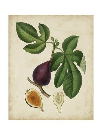 Non-Embellished Antique Fig Tree