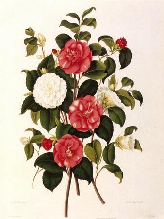 Rose and Camelias