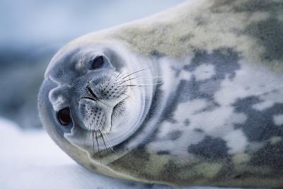 Weddell Seal-Paul Souders-Photographic Print