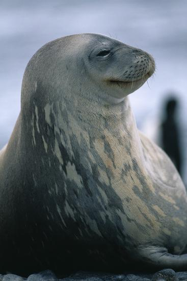 Weddell Seal-DLILLC-Photographic Print
