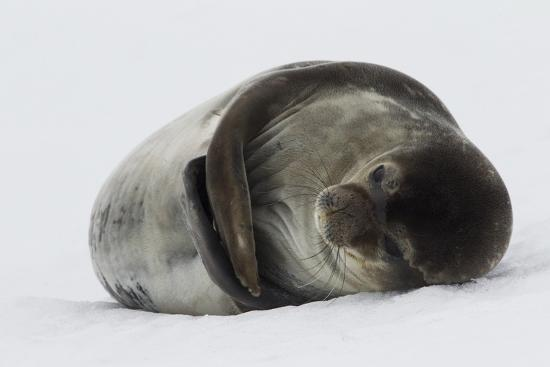 Weddell Seal-Joe McDonald-Photographic Print