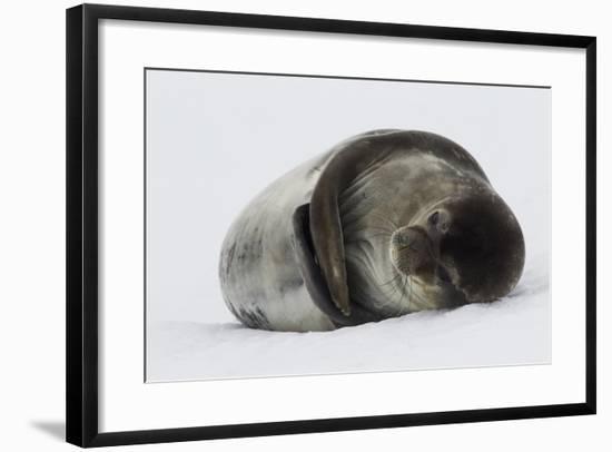 Weddell Seal-Joe McDonald-Framed Photographic Print