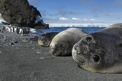 Weddell Seals on Livingstone Island, Antarctica-Paul Souders-Photographic Print
