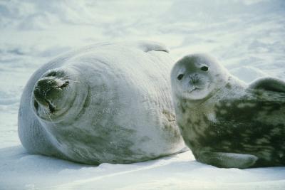 Weddell Seals-Doug Allan-Photographic Print