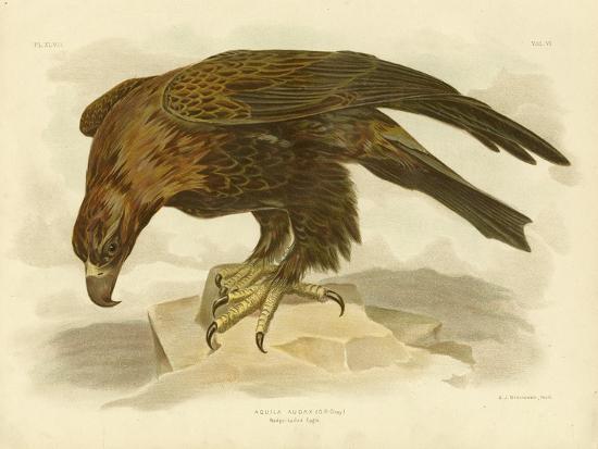 Wedge-Tailed Eagle, 1891-Gracius Broinowski-Giclee Print