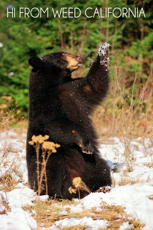 https://imgc.artprintimages.com/img/print/weed-california-bear-playing-with-snow_u-l-q1gqg3d0.jpg?p=0