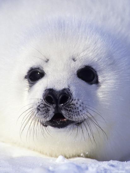 Week-old Harp Seal (Phoca Groenlandica) Pup (whitecoat), Gulf of the St. Lawrence River, Canada.-Wayne Lynch-Photographic Print