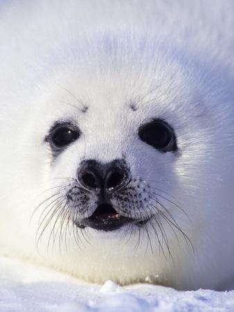 https://imgc.artprintimages.com/img/print/week-old-harp-seal-phoca-groenlandica-pup-whitecoat-gulf-of-the-st-lawrence-river-canada_u-l-pzlern0.jpg?p=0