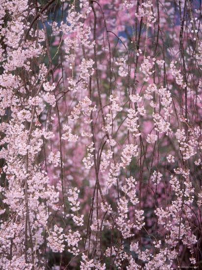 Weeping Cherry Tree--Photographic Print