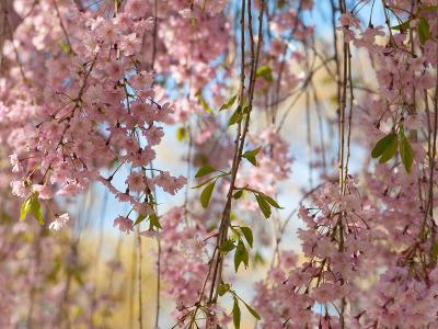 Weeping Higan Cherry Tree Branches, Prunus Subhirtella Var. Pendula-Darlyne A^ Murawski-Photographic Print