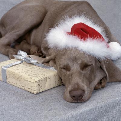 Weimaraner Asleep Wearing Christmas Hat--Photographic Print