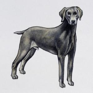 Weimaraner (Canis Lupus), Canidae, Drawing