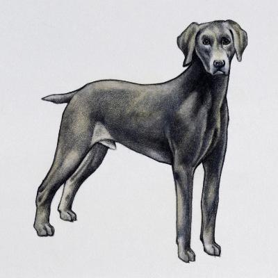 Weimaraner (Canis Lupus), Canidae, Drawing--Giclee Print