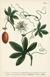 Antique Passion Flower III by Weinmann