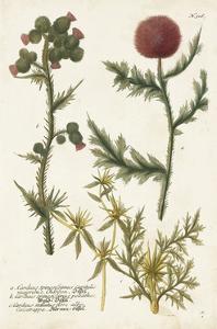 Botanical Varieties II by Weinmann