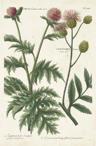 Botanical Varieties III by Weinmann