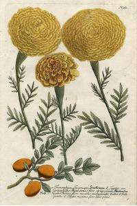Marigold Magic I by Weinmann