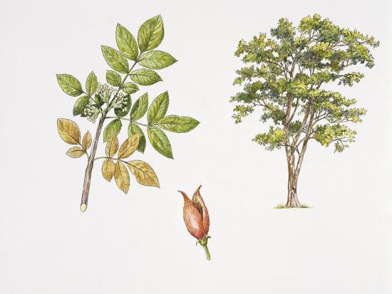 Weinmannia Rutenbergii Plant with Flower, Leaf and Fruit--Giclee Print