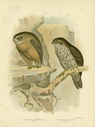 Wekau or Laughing Owl, 1891-Gracius Broinowski-Giclee Print