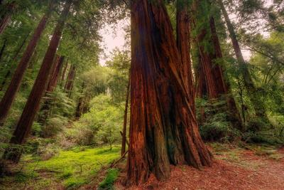 Welcome to Muir Woods 4-Vincent James-Photographic Print