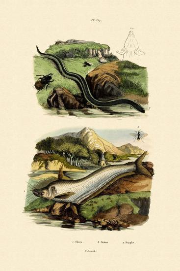 Wels Catfish, 1833-39--Giclee Print