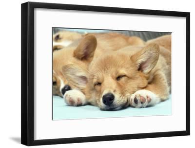 Welsh Corgi Dog (Pembroke), Close-Up Asleep
