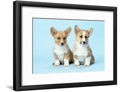 Welsh Corgi Dog (Pembroke) Puppies