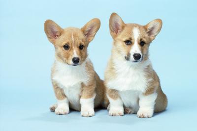 Welsh Corgi Dog (Pembroke) Puppies--Photographic Print