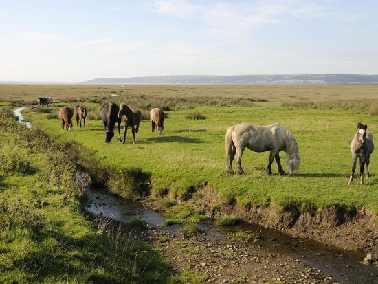Welsh Mountain Ponies (Equus Caballus) Grazing, Llanrhidian Salt Marshes, Gower Peninsula, Wales-Nick Upton-Photographic Print