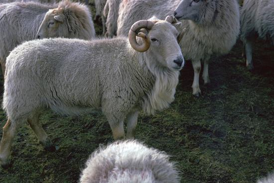 Welsh Mountain ram-Unknown-Photographic Print