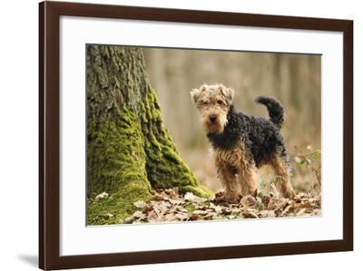 Welsh Terrier--Framed Photographic Print