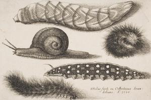 Four Caterpillars and a Snail by Wenceslaus Hollar