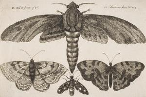 Moth and Three Butterflies by Wenceslaus Hollar