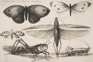 """Six Insects, Plate 2 from the Series """"Muscarum, Scarabeorum Vermiumque Varie Figure and Formae"""" by Wenceslaus Hollar"""