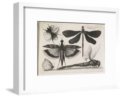 The Set of Butterflies, One of Twelve, 1646