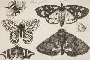Three Moths, Two Butterflies, and a Bumble Bee by Wenceslaus Hollar