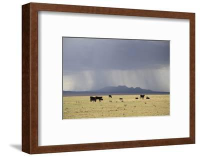 Cattle on Ranch, Thunder Storm Clouds, Santa Fe County, New Mexico, Usa