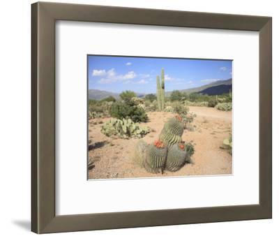 Saguaro Cacti and Barrel Cacti in Bloom, Saguaro National Park