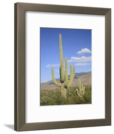 Saguaro Cacti, Saguaro National Park, Rincon Mountain District, Tucson, Arizona