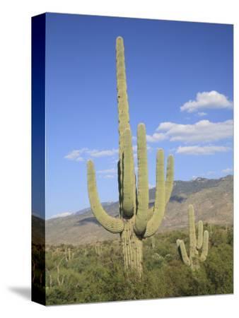 Saguaro Cacti, Saguaro National Park, Rincon Mountain District, Tucson, Arizona