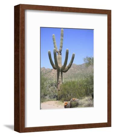Saguaro Cactus, Saguaro National Park, Tuscon Mountain District West Unit, Tucson, Arizona