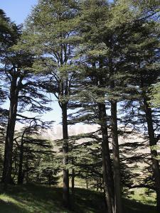 The Cedar Trees of Bcharre, Qadisha Valley, Lebanon by Wendy Connett