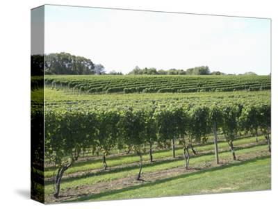 Vineyard of Winery, the Hamptons, Long Island, New York, United States of America, North America