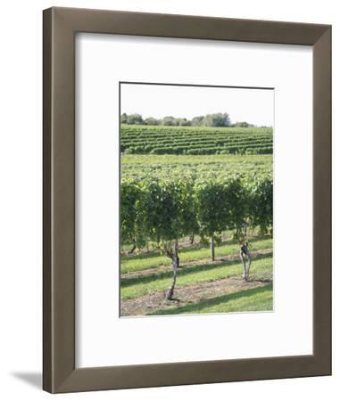 Vineyard of Winery, the Hamptons, Long Island, New York, United States of America, North America