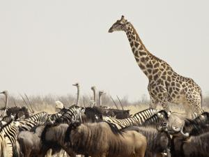 A Lone Giraffe Stands Tall at a Waterhole, Etosha National Park, Namibia, Africa by Wendy Kaveney