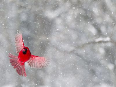 Male Cardinal With Wings Spread, Indianapolis, Indiana, USA