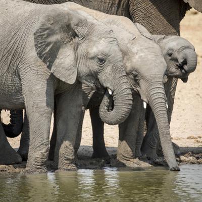 Namibia, Etosha National Park. Elephants Drinking at Waterhole by Wendy Kaveney
