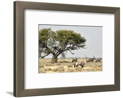 Namibia, Etosha National Park. Five Oryx and Tree